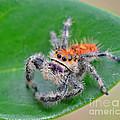 Regal Jumping Spider by John Serrao