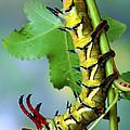Regal Moth Caterpillar by Robert Jensen