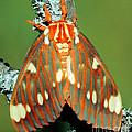 Regal Moth by Millard H. Sharp