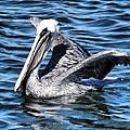 Regal Pelican by Phil Huettner