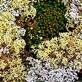Reindeer Moss And Lichens by Randy Beacham
