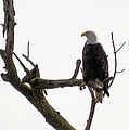 Relaxed Eagle by Bonfire Photography