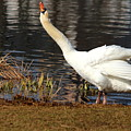 Relaxed Swan by Heike Hultsch