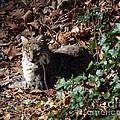 Relaxing Male Bobcat by Eva Thomas