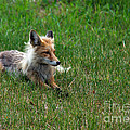 Relaxing Red Fox by Robert Bales