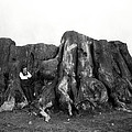 Remnant Of A Giant C. 1890 by Daniel Hagerman