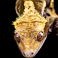 Reptile Close Up On Black by Simon Bratt Photography LRPS