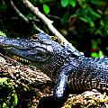 Resting Alligator  by Marty Gayler