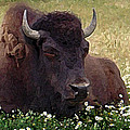 Resting Bison by Michele Avanti