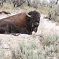 Resting Bison by Robin Maria Pedrero