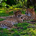 Resting Cheetahs by Tommy Anderson