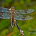 Resting Dragonfly by Robert Bales
