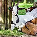Resting Goats by Pati Photography