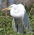 Resting Great Egret by Carol Groenen