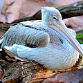Resting Great White Pelican by David Lee Thompson