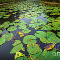 Resting Lilly Pads by Andrew Slater