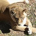 Resting Lioness by Jared Best