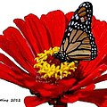 Resting Monarch by Bruce Nutting