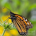 Resting Monarch Butterfly by Nikki Vig