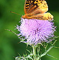 Resting On A Thistle by Laurel Talabere