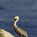 Resting Pelican by Sebastian Musial