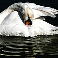 Resting Swan by Norman Johnson