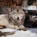 Resting Timber Wolf by Wolves Only