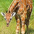 Reticulated Giraffe 6 Week Old Calf by Millard H. Sharp