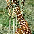 Reticulated Giraffe And Calf by Millard H. Sharp