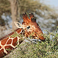 Reticulated Giraffe Browsing Acacia Kenya by Liz Leyden