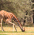 Reticulated Giraffe Drinking At Waterhole Kenya by Liz Leyden