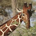 Reticulated Giraffe Feeding On Acacia by Liz Leyden