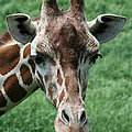 Reticulated Giraffe by Judy Whitton