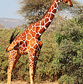 Reticulated Giraffe by Liz Leyden