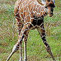 Reticulated Giraffe by Millard H. Sharp