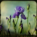 Retro Iris Metting by Gothicrow Images