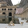 Rhesus Monkeys At An Indian Temple by Tony Camacho
