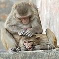Rhesus Monkeys Grooming by Tony Camacho