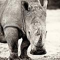 Rhino After The Rain by Mike Gaudaur