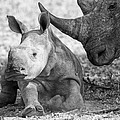 Rhino And Baby by Max Waugh