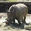 Rhino Eating by Nathanael Smith