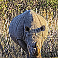Rhino In The Rushes by John  Nickerson