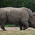 Rhino In The Wild by Richard Booth