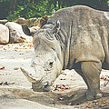 Rhino by Pati Photography
