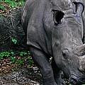 Rhino by Rachael M