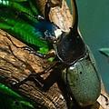 Rhinoceros Beetle by Douglas Barnett