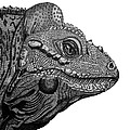 Rhinoceros Iguana by Tracey Gurr BA Hons