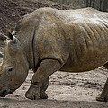 Rhinoceros by Svetlana Sewell
