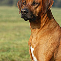 Rhodesian Ridgeback Dog by Dog Photos