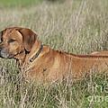 Rhodesian Ridgeback Dog by John Daniels